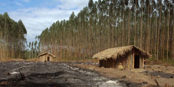 Plantation industrielle d'eucalyptus au Brézil (Source: Wikipédia)