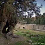 Il y a 500 ans, cet arbre était déjà plus vieux que moi!