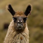 Cependant, les lamas sont toujours adaptés à ces altitudes.