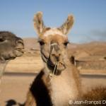 Les peuples riverains du Titicaca vivaient autrefois principalement de l'élevage des lamas, vigognes et alpagas.