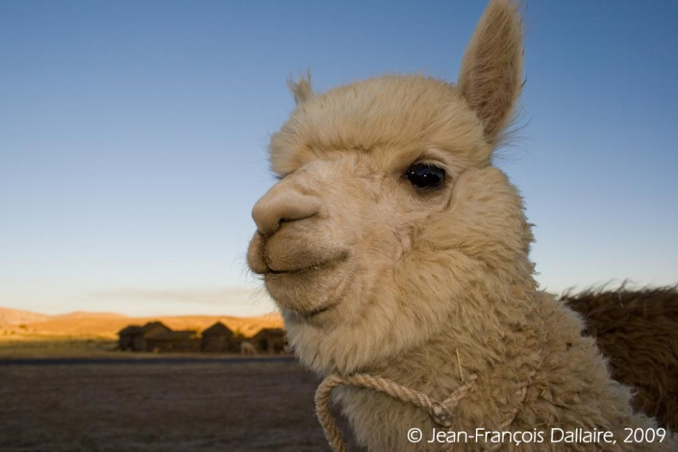 Un alpaga, un animal avec une laine résistante et d'une grande douceur.