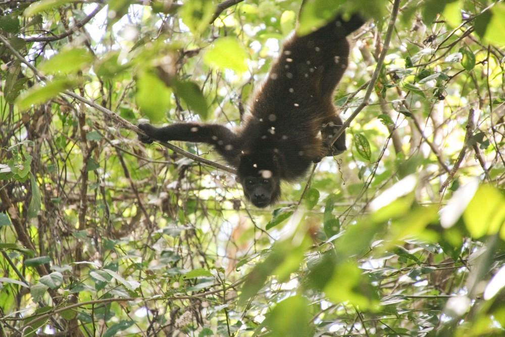 Singe hurleur d'Amérique latine (mono Congo ou Alouatta palliata)